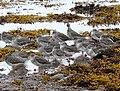 Redshanks at Loch Fleet. - geograph.org.uk - 1521214.jpg