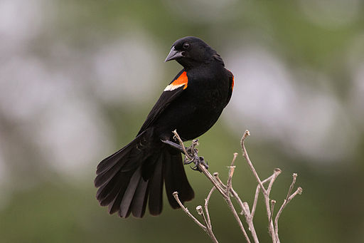 Redwinged Blackbird m 4054