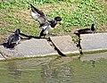 Reiherenten im Schlosspark Bad Mergentheim. 13.jpg