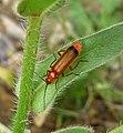 Rhagonycha fulva. Cantharidae - Flickr - gailhampshire.jpg