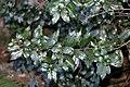 Rhamnus prinoides, loof, Ncagaberg, b.jpg