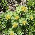 Rhodiola rosea (female s7).jpg