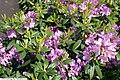 Rhododendron catawbiense Grandiflorum 1zz.jpg