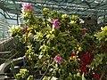Rhododendron cv. Kiev Grishko 21.jpg