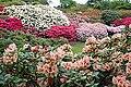 Rhododendron kultivarsamling nydalen07.jpg