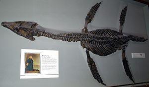Pliosauroidea - Rhomaleosaurus cramptoni, Natural History Museum