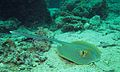 Ribbontail Stingray (Taeniura lymma) (6127698342).jpg