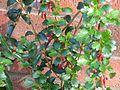 Ribes speciosum - Flickr - peganum (2).jpg