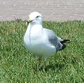 Ring-billed Gull - Flickr - S. Rae.jpg