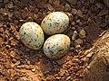 River tern-Nest 09 - Koyna 042011.JPG
