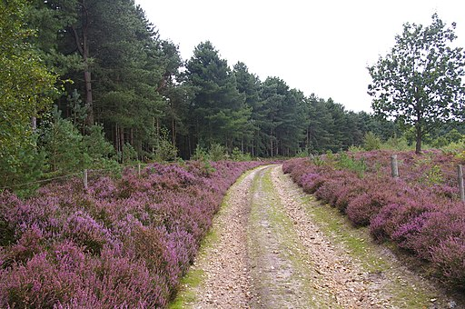 Road by Roydon Common - geograph.org.uk - 544163