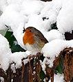 Robin in the back garden (27238910679).jpg