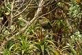 Rock Wren - Te Anau - New Zealand FJ0A6156 (38573334694).jpg