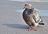 Rock dove (Columba livia) standing on place de la Bourse, Brussels, Belgium (DSCF4424-cropped).jpg