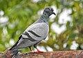 Rock pigeon (Columba livia) 3.jpg