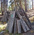 Rocky Mountain National Park in September 2011 - Sprague Lake area - Moutain Pine Bettle infested stack of wood.JPG