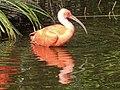 Rode Ibis (Eudocimus ruber) - Aan het badderen.jpg