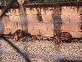 Rodentia - Cuniculus paca - 3.jpg