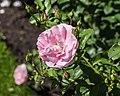 Rosa 'Mazurika' (d.j.b).jpg