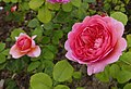 Rosa 'Princess Alexandra of Kent ' David Austin 03.jpg