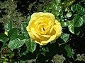 Rosa Arthur Bell 2019-05-29 4139.jpg
