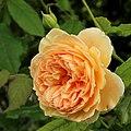 Rosa Crown Princess Margaret.jpg