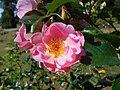 Rosa Pink Robusta 2018-07-08 3861.jpg