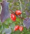 Rosa canina fruit (28).jpg