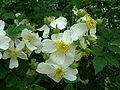 Rosa fujisanensis buds.jpg