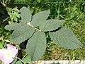 Rosa villosa leaf (11).jpg