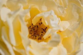 Rose, Golden Border - Flickr - nekonomania (3).jpg