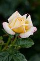 Rose, Peace.jpg