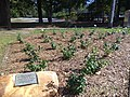 Rose Garden, Broad St., Thomasville.JPG