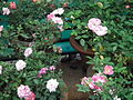 Rose from lalbagh year 2012 - 1657.JPG