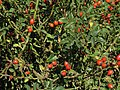 Rose hips in Moatfield Lane - geograph.org.uk - 252365.jpg