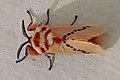 Rosy ermine moth (Trosia nigropunctigera) 2.jpg