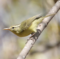 RoteLeafWarbler.png