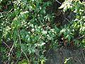 Rourea santaloides (8293513369).jpg