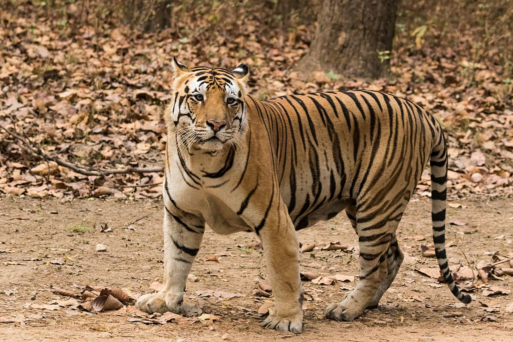 Tigre du Bengale sauvage en Inde - By Rahulsharma photography - Own work, CC BY-SA 4.0, https://commons.wikimedia.org/w/index.php?curid=49803120