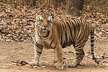 Royal Bengal Tiger at Kanha National Park.jpg
