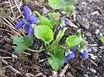 Ruhland, Grenzstr. 3, Duftveilchen im Garten, blau blühend, Frühling, 11.jpg