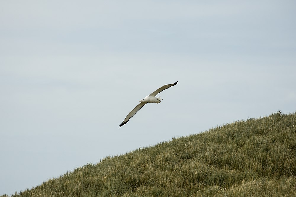 SGI-2016-South Georgia (Prion Island)–Wandering albatross (Diomedea exulans) 03.jpg