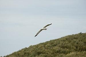 Great albatross - Image: SGI 2016 South Georgia (Prion Island)–Wandering albatross (Diomedea exulans) 03
