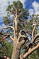 Sacrificial pine Markkina 3.jpg
