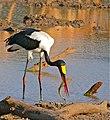 Saddle-billed Stork (Ephippiorhynchus senegalensis) male trying to swallow a Catfish (Clarias gariepinus) (32787710350).jpg