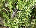 Sagebrush cicada (Okanagana luteobasalis) on Seedskadee National Wildlife Refuge (35280684671).jpg