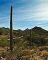 Saguaros at the Sonoran Desert Museum (6142328716).jpg