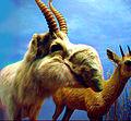 Saiga Antelope.jpg