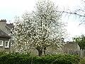 Saint-Cyr-l'École arbre en fleurs P1060813.JPG