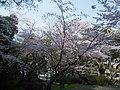 Sakura at Minami Park 02.jpg